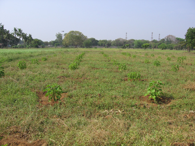 Jatropha plant survey